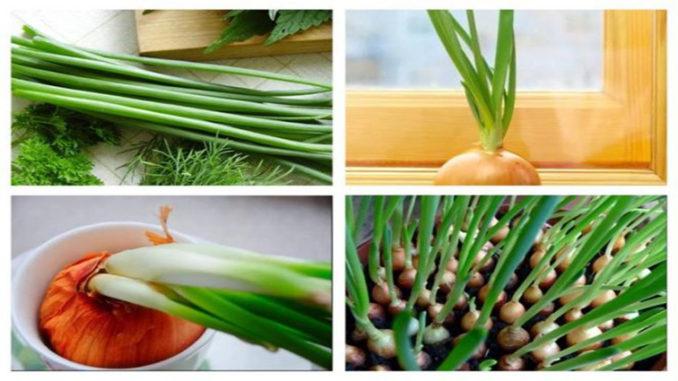 Как вырастить лук севок из семян